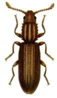 grain beetle