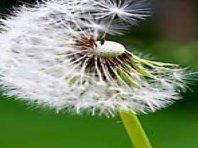 dandelion weed control