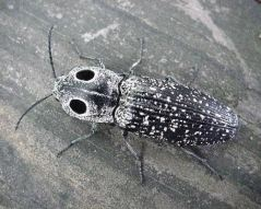 how to get rid of click beetles