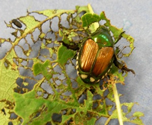 japanese beetle control