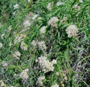 milkweed control
