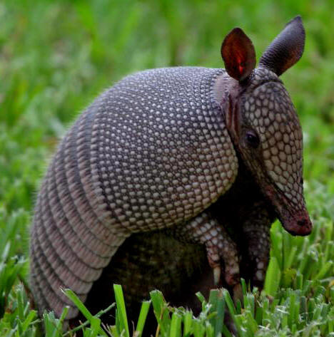Armadillo Control Get Rid Of
