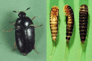 Diy Black Carpet Beetle Control And Removal Tips