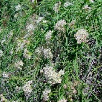 climbing milkweed