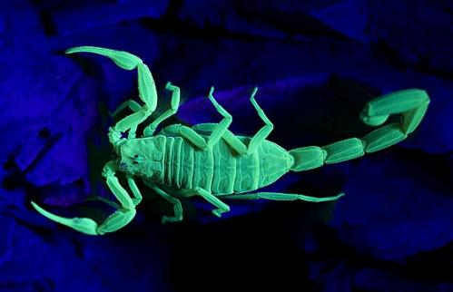 Arizona Desert Hairy Scorpion and Scorpion Pest Control