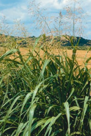 johnson grass weed control