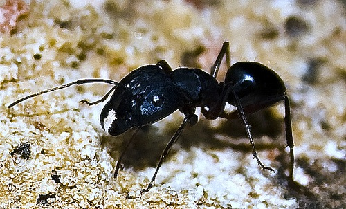 little black ants