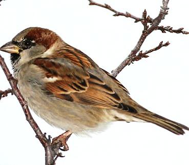 sparrow bird control