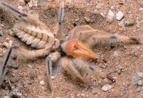 sun spider