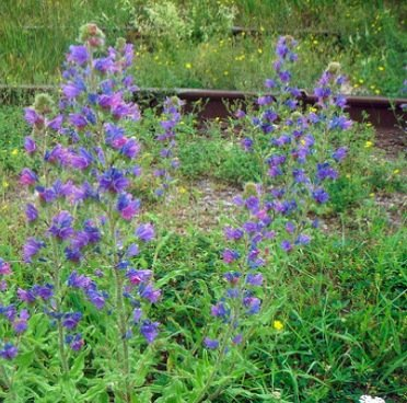 blue weed control
