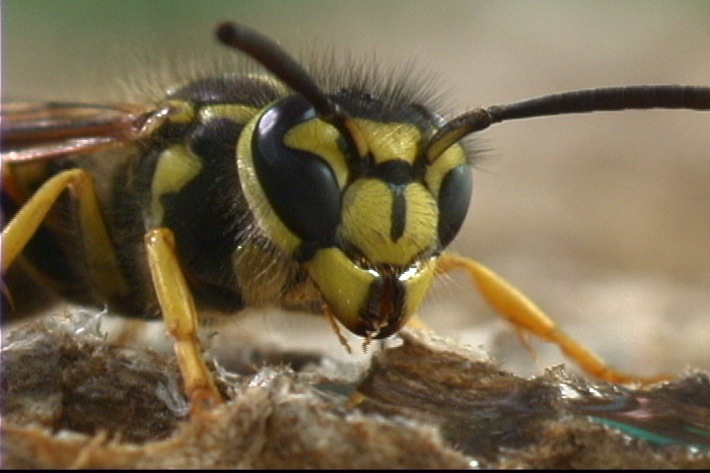 yellow jacket insect